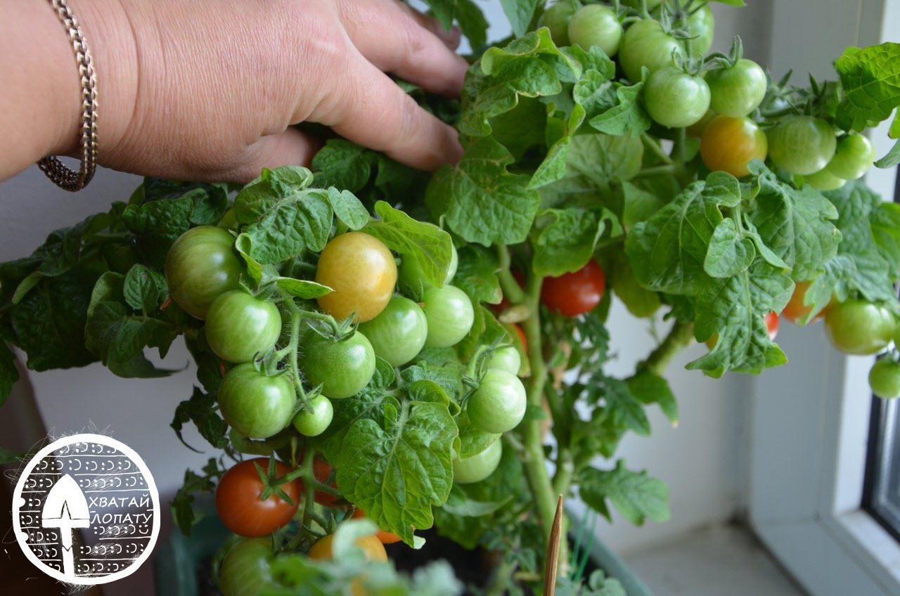 balkonnyye pomidory kak vyrashchivat'
