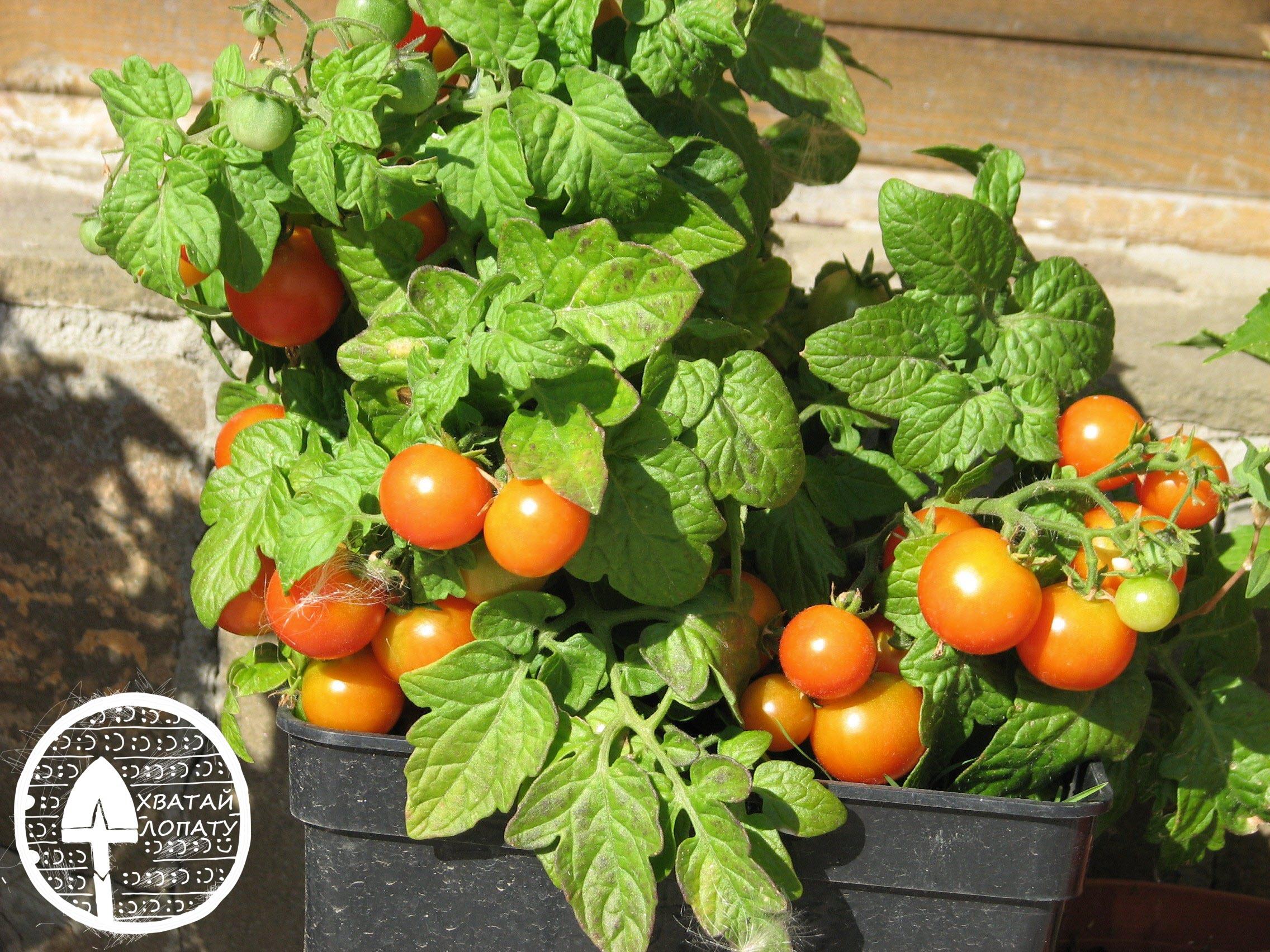 balkonnyye pomidory vyrashchivaniye