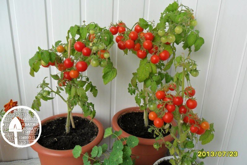 Помидоры балконное чудо выращивание дома зимой 66