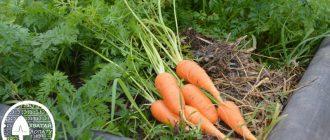как посадить морковь под зиму