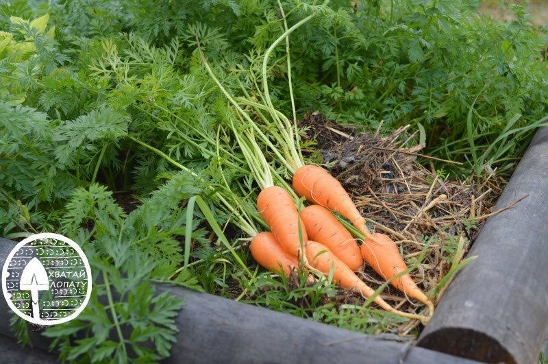 Когда сажать морковь сорт 469