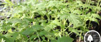 kak vyrastit' rassadu pomidor v domashnikh usloviyakh