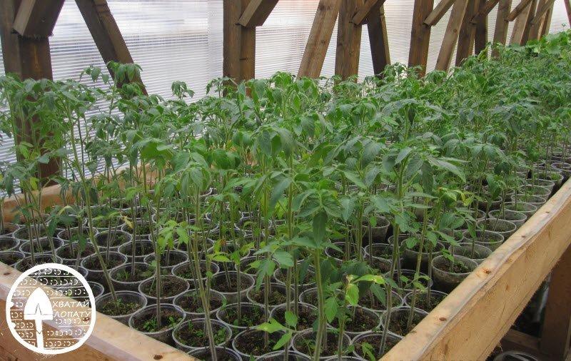 vyrashchivaniye rassady pomidor na prodazhu