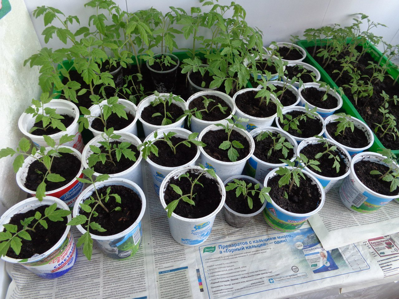 vyrashchivaniye rassady pomidor v stakanchikakh