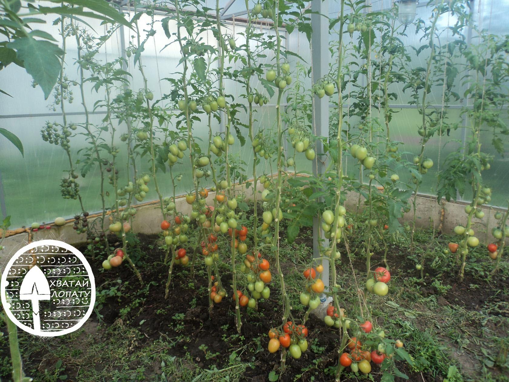 chem luchshe podkormit' pomidory