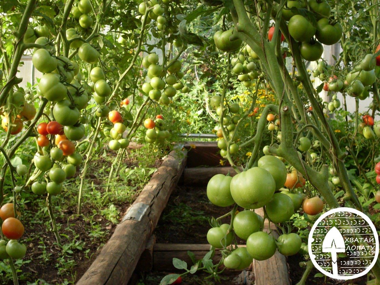 chem podkormit' pomidory