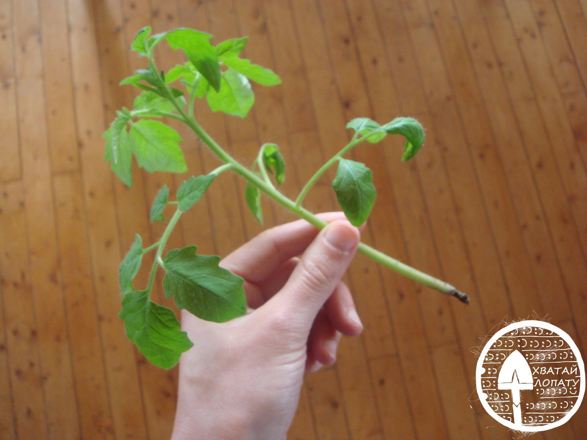 chernaya-nozhka-rassady-pomidor