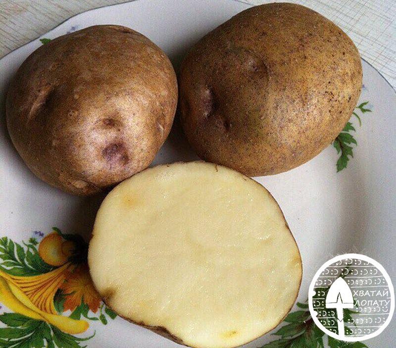 kartofel' sort sineglazka