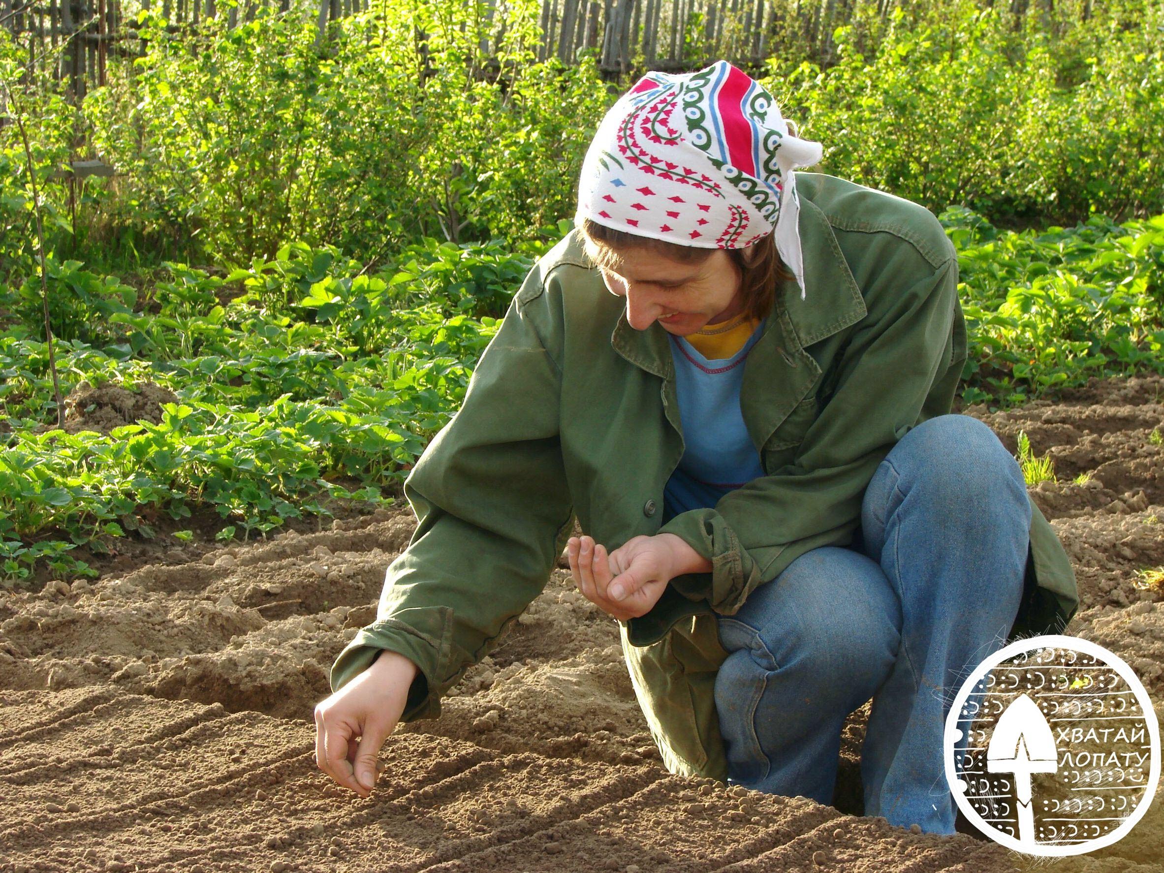 posev semyan kapusty v otkrytyy grunt