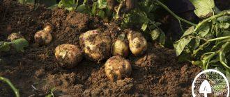 ranniy kartofel'
