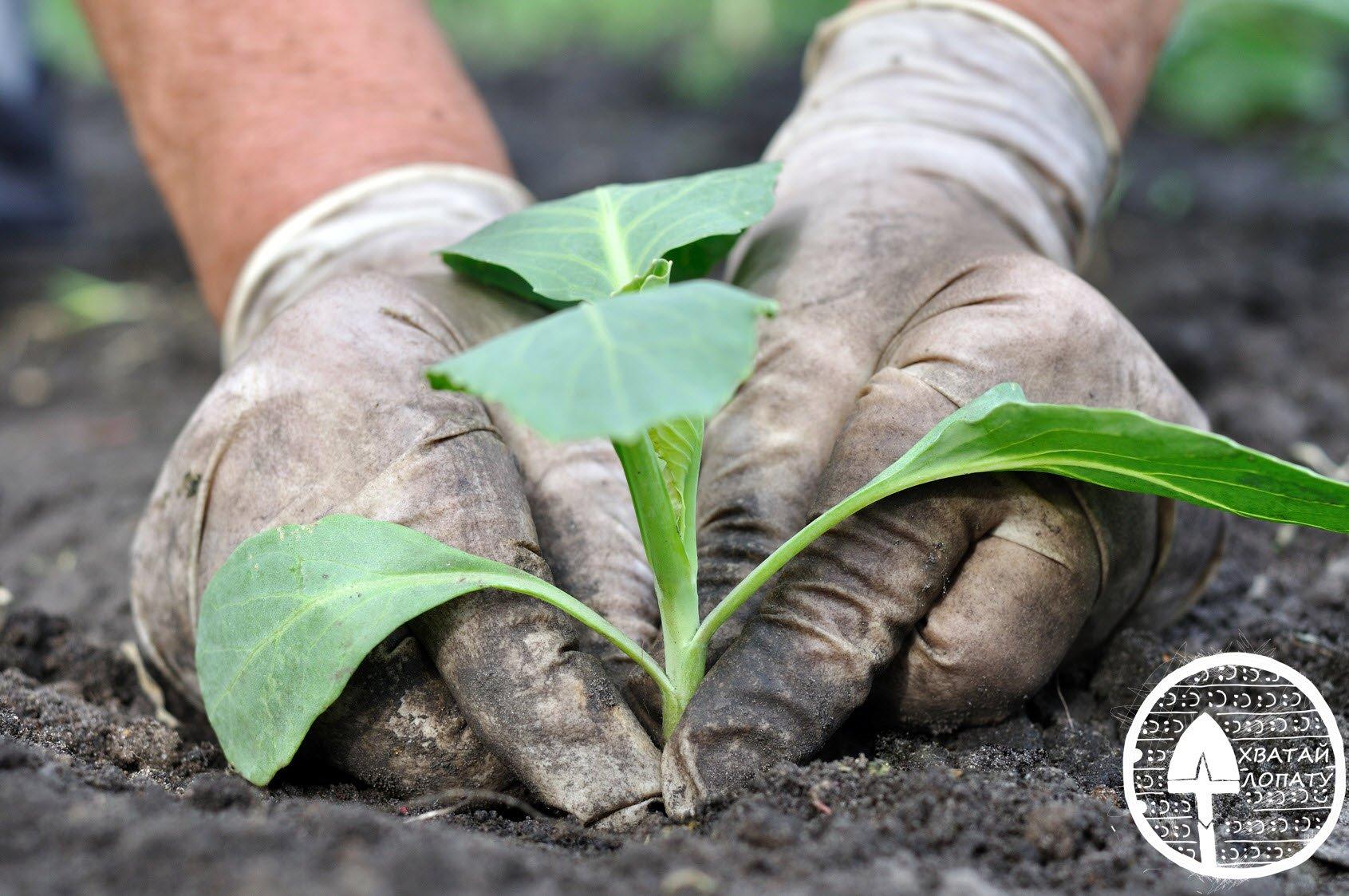 на фото - высадка рассады капусты в открытый грунт