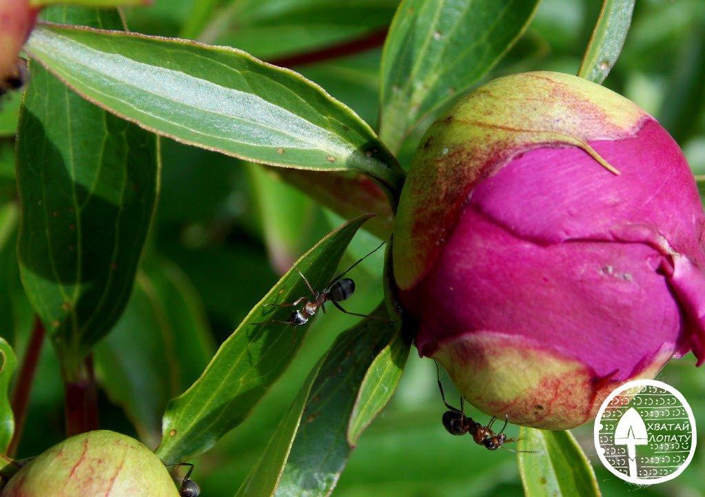 муравьи на пионе