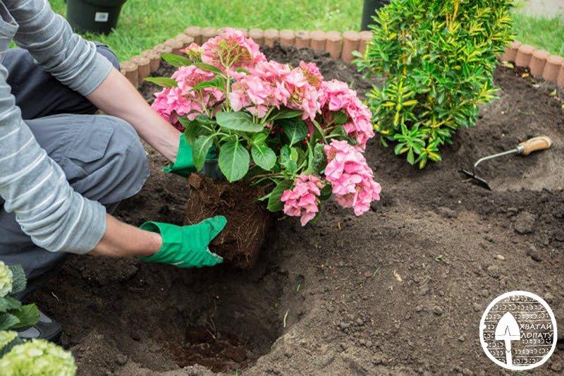 Гортензия садовая, посадка и уход