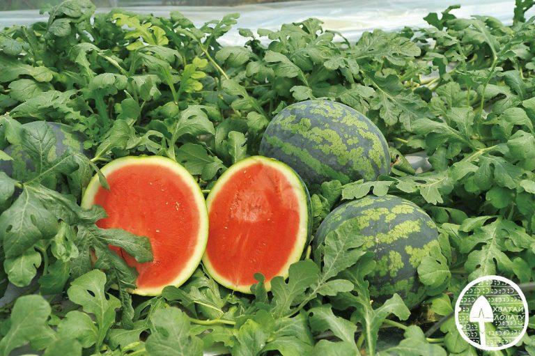Технология выращивания арбуза в открытом грунте 98
