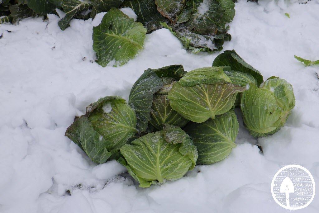 Когда убирать капусту