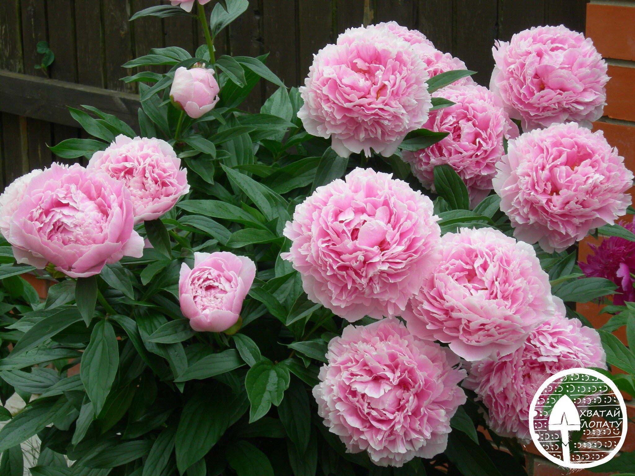 Пион травянистый Сара Бернар розовый