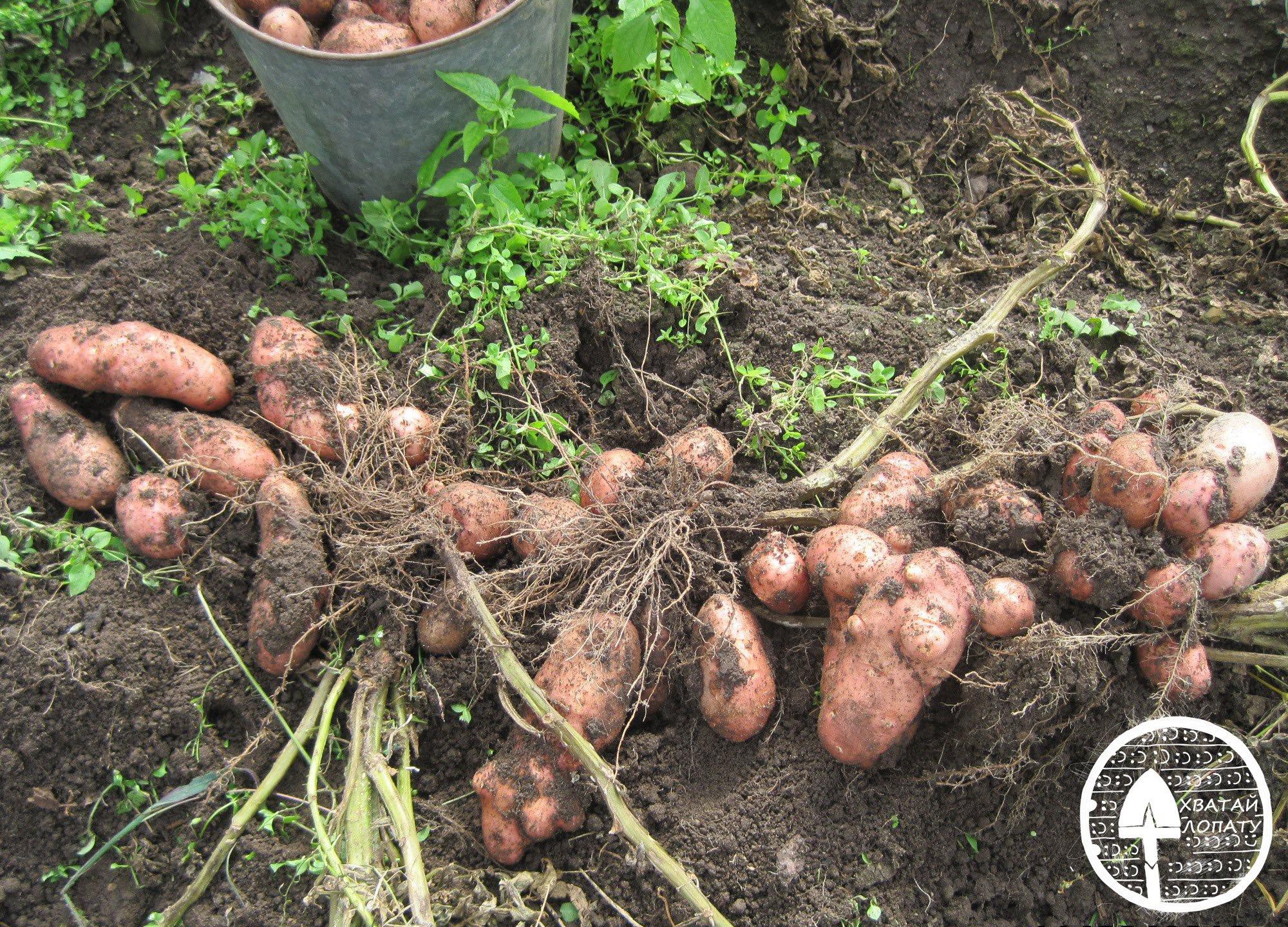 Сорт картофеля Астерикс