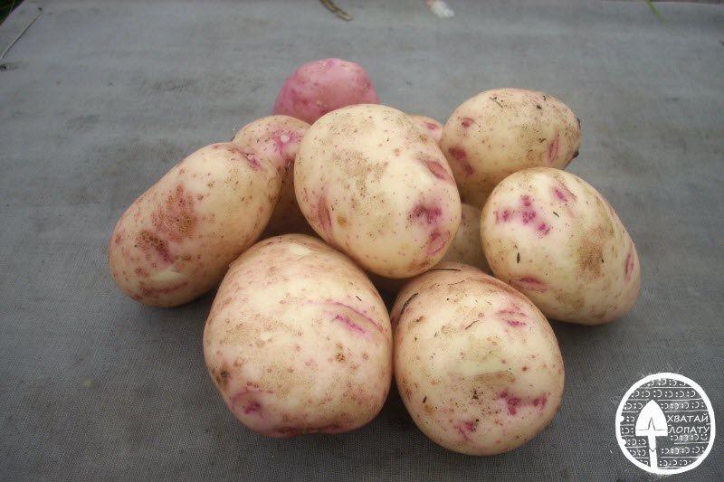 Сорта картофеля Аврора