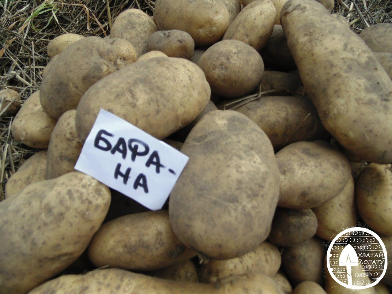 Сорта картофеля Бафана