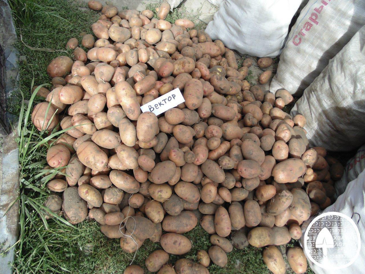 Сорта картофеля Вектар Белорусски
