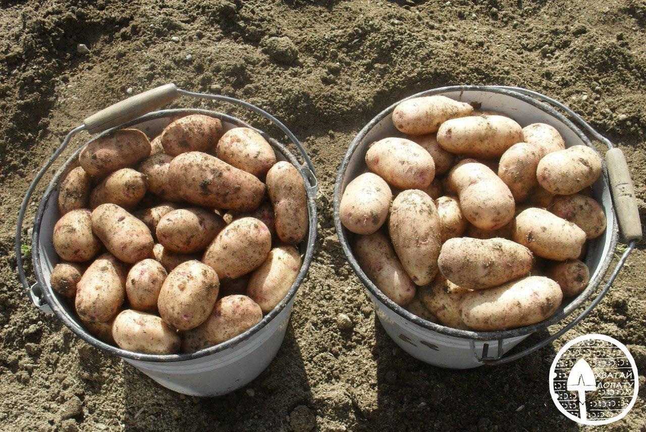 Сорта картофеля Загадка Питера