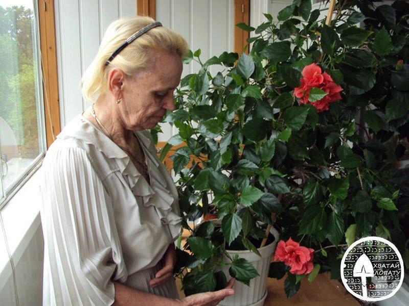 Гибискус – цветок смерти, почему