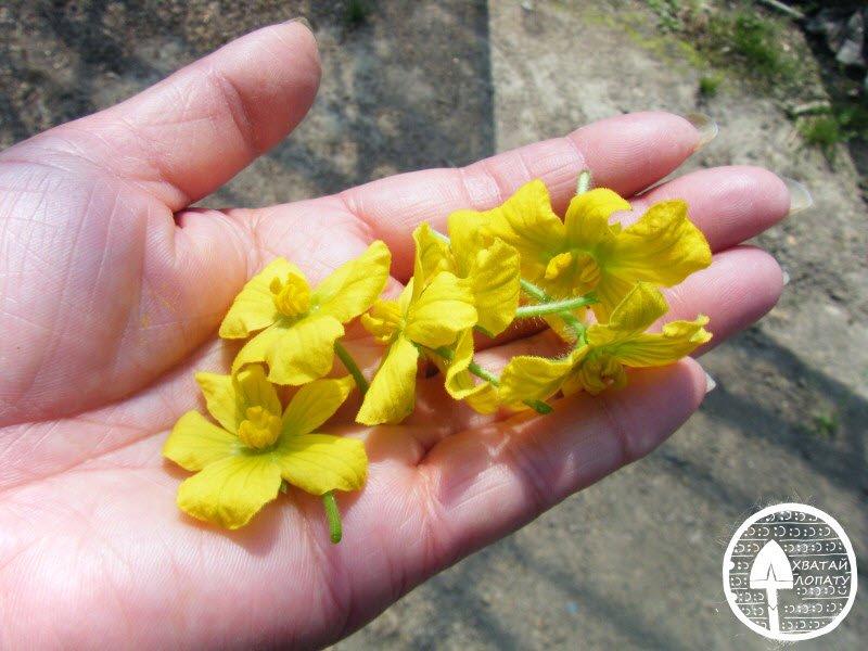 мужские цветки арбуза