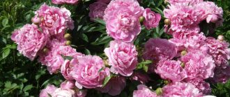 пион травянистый Pink Parfait