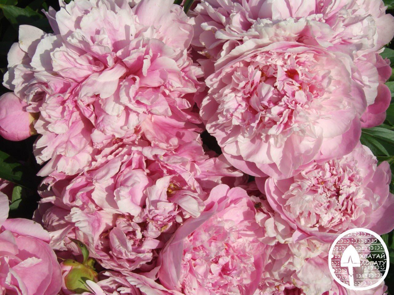 пион травянистый Pink Parfait фото