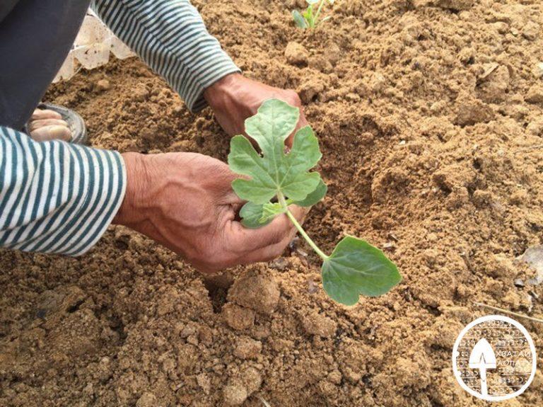 Технология выращивания арбуза в открытом грунте 67