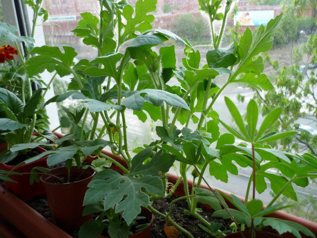 Посев семян арбуза и дыни на рассаду (мастер-класс) На