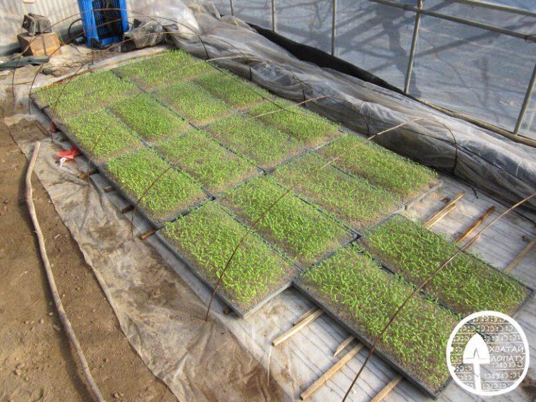 Чем по Часто начинающие огородники теряются в догадках, чем подкормить рассаду перцев.