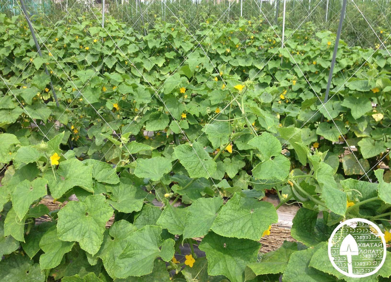 Огурцы, уход и выращивание в открытом грунте