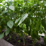 Перец – выращивание и уход в теплице