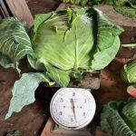 как ухаживать за капустой в открытом грунте чтобы был хороший урожай