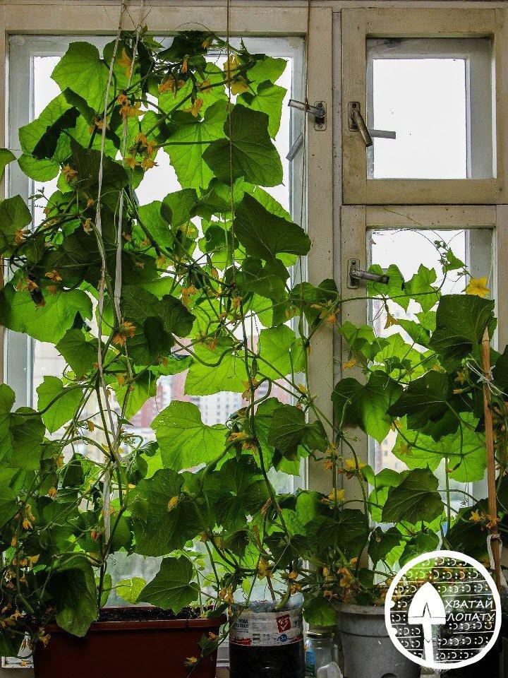 огурцы для выращивания на подоконнике