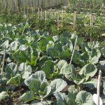 почему не растет капуста в открытом грунте
