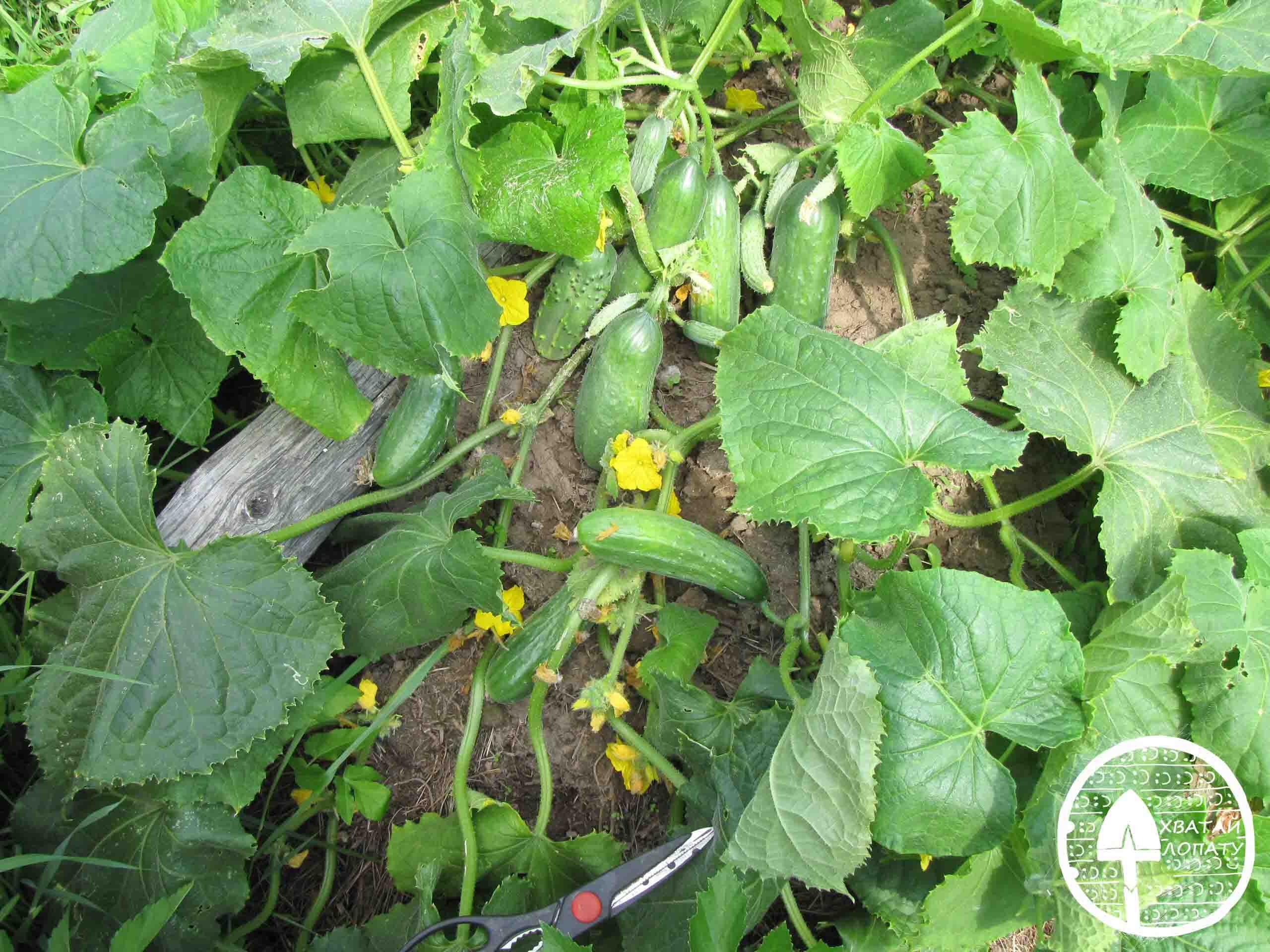 выращивания огурцов в расстил