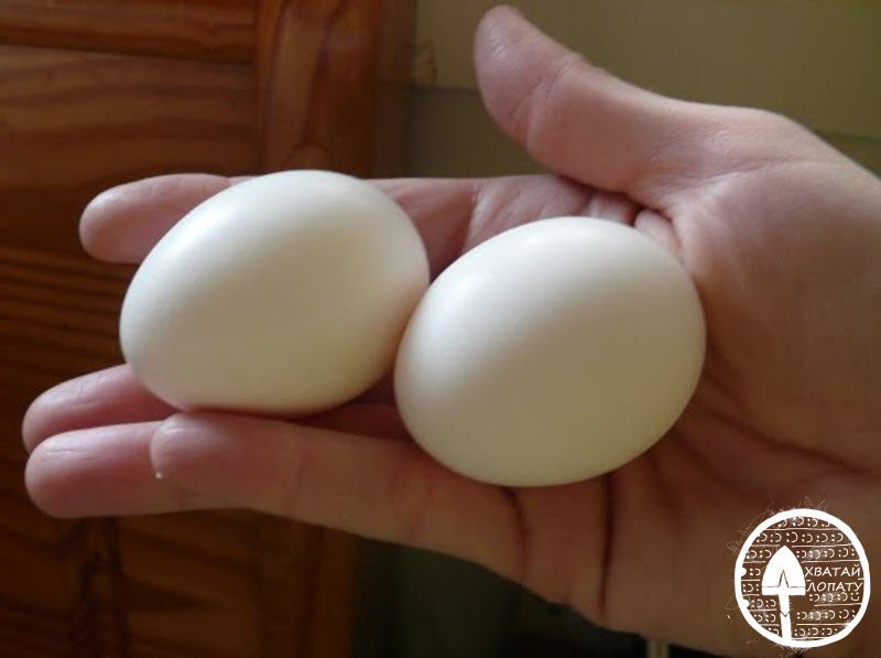 яйца кур лакенфельдер