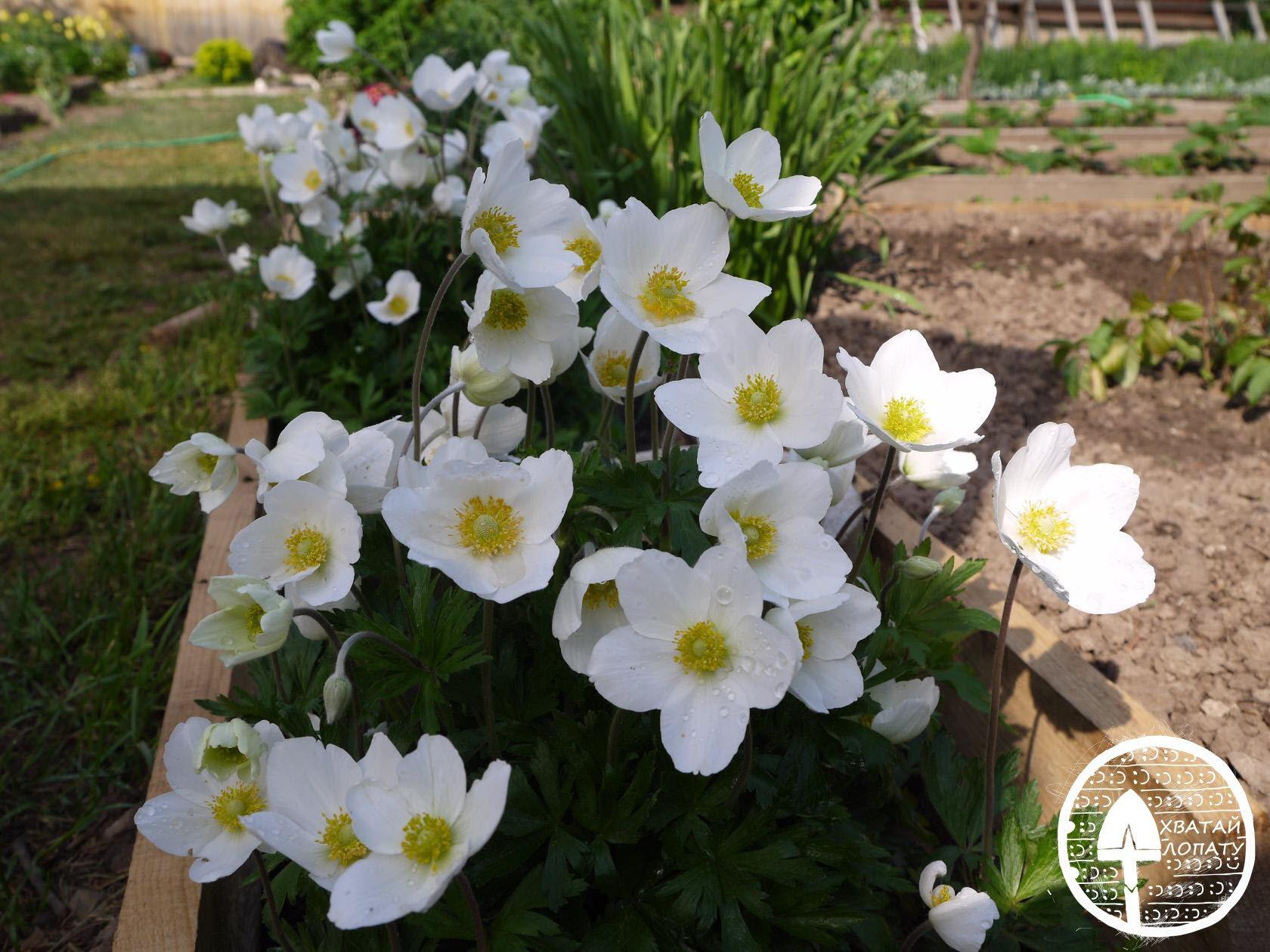 Цветок анемона посадка и уход, фото, выращивание и виды 31